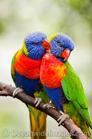 Example of Rainbow Lorikeets
